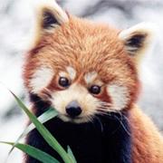 Roter Panda (CC by Brunswyk)