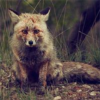Schlau wie ein Fuchs