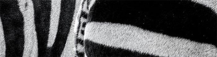 Noch ist die Entstehung ihrer Streifen nicht geklärt. Foto: pexels.com