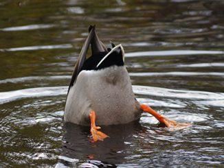 Tauchende Ente. Foto: HüSo / Adobe Stock