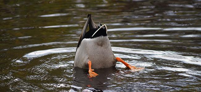 Duck_650_as