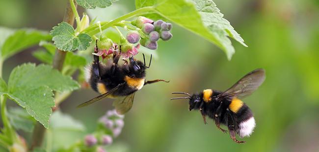 Hummeln sind staatsbildende Insekten. Foto: Den / Adobe Stock